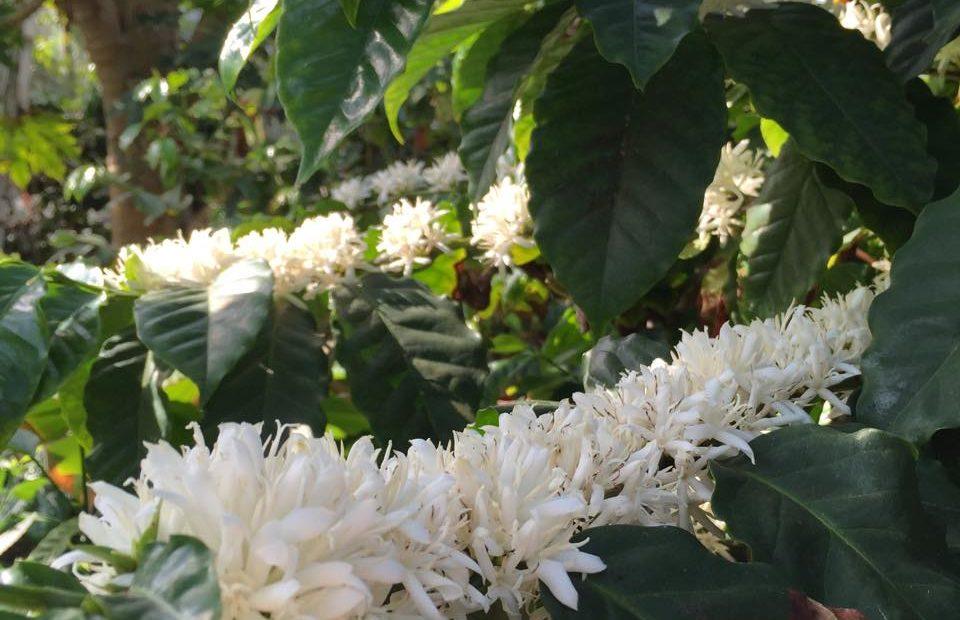 利根店の温室で栽培されているコーヒーの木の花
